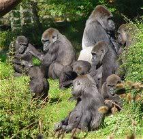 gorilla_wonen
